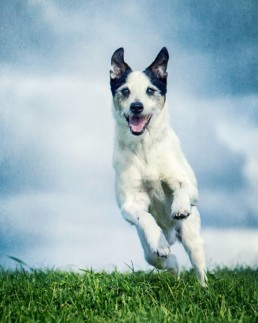 Jack-Russell-Terrier-action-shot