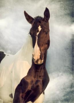 Piebald-horse-portrait
