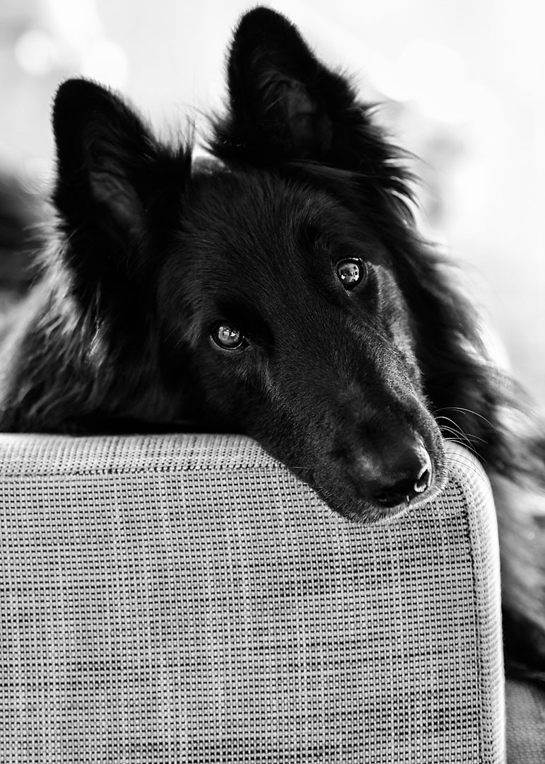 Black and white portrait of a Belgian Sheepdog