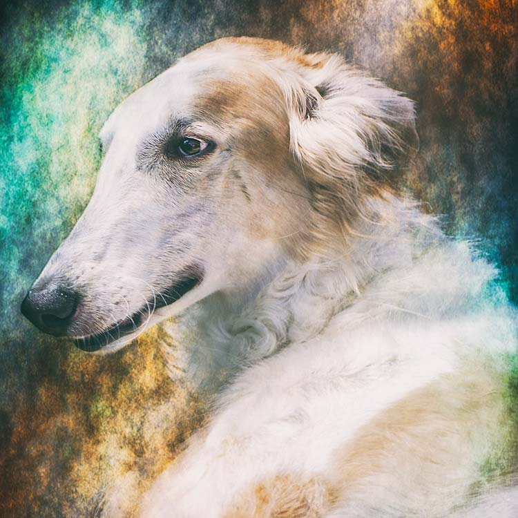 Portrait-of-a-Silken-Windhound