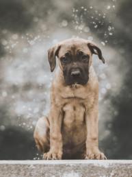 Portrait-of-an-English-Mastiff-puppy