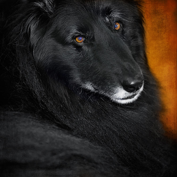 Soulful-portrait-of-a-Belgian-Sheepdog
