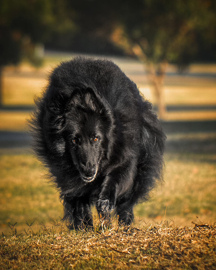 Belgian Shepherd on the prowl in golden light