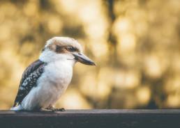 kookaburra-sitting-on-rail